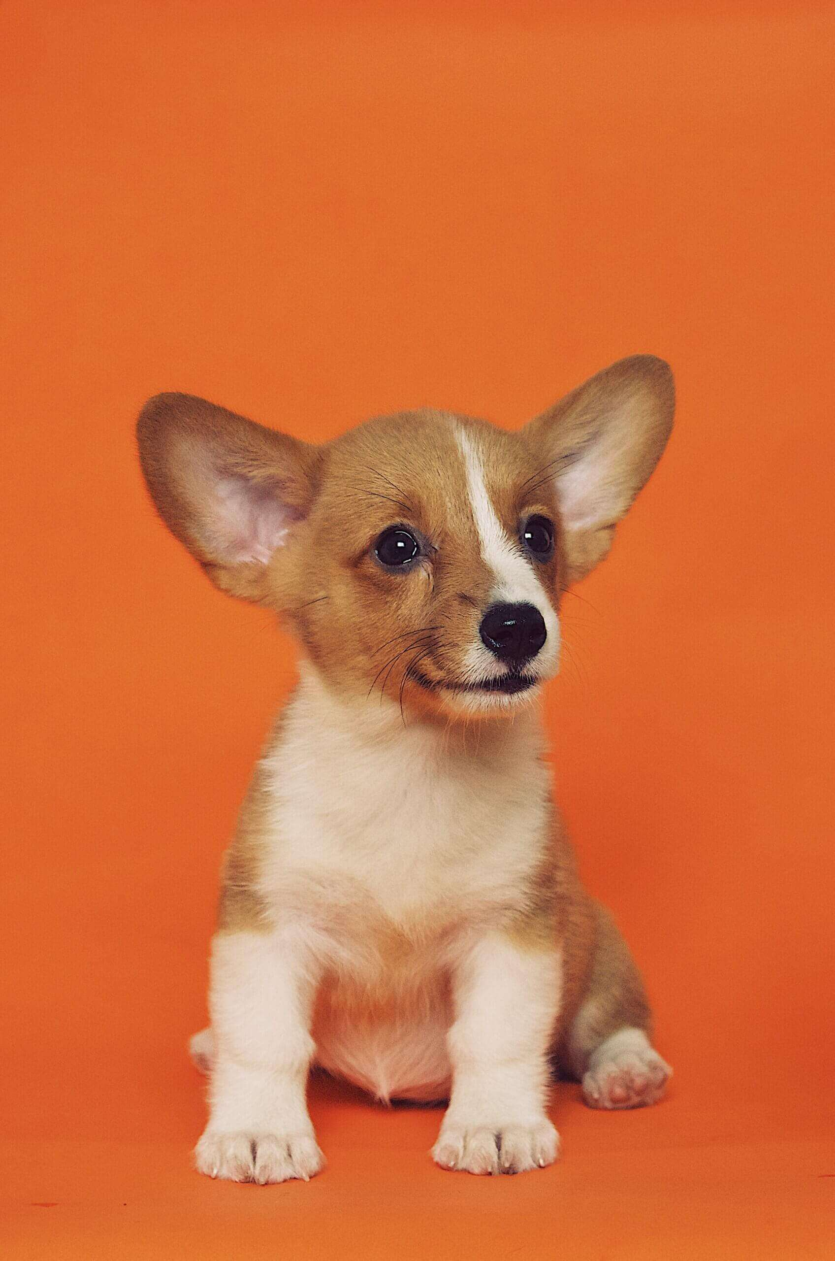 A dog on an orange background