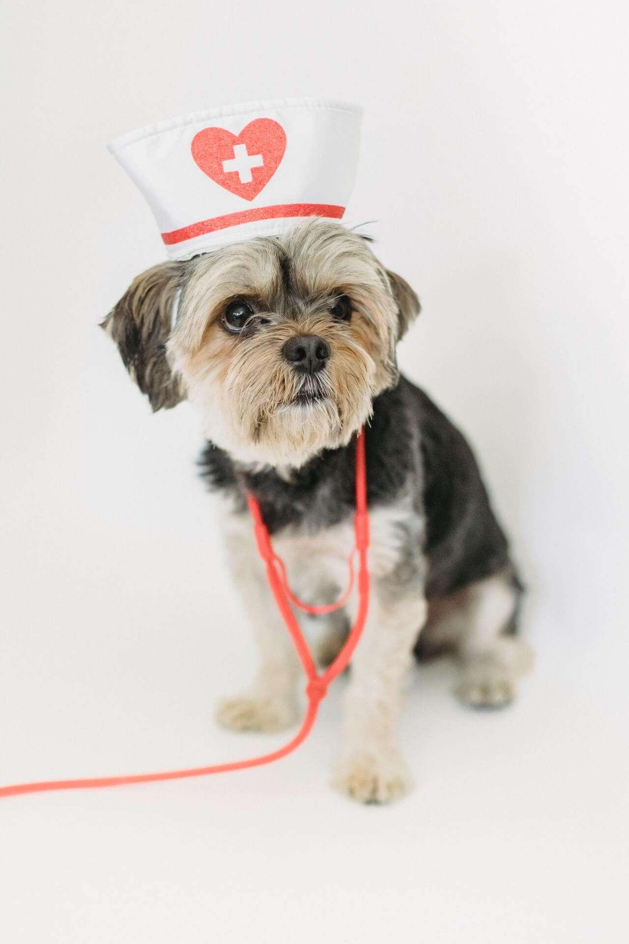dog wearing nurse hat